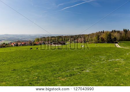Swiss Cows On Meadow, Aargau, Switzerland