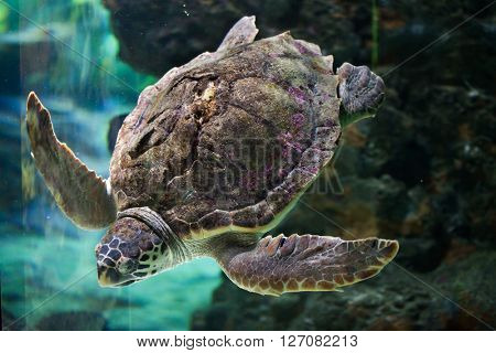 Loggerhead sea turtle (Caretta caretta), also known as the loggerhead. Wild life animal.