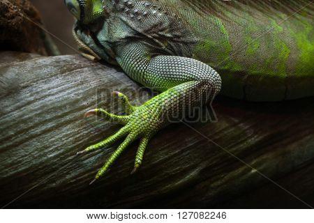 Foot of the green iguana (Iguana iguana). Wild life animal.