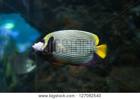 Emperor angelfish (Pomacanthus imperator). Wild life animal.