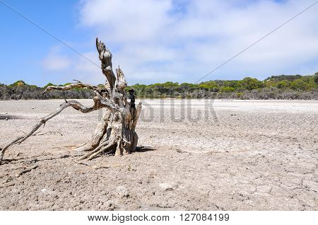Drought at Manning Lake with a dry cracked bed and leafless tree surrounded by wetland trees in Hamilton Hill, Western Australia.