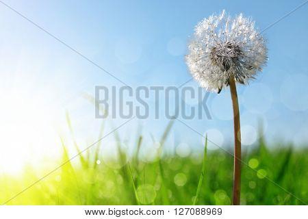 Dewy dandelion flower in grass. Soft focus. Nature background.