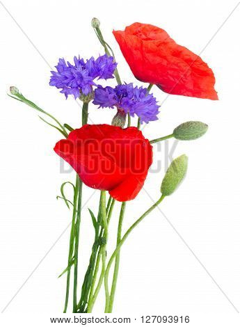 Poppy red flowers with blue cornflowers green buds  isolated on white background