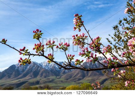 A branch of the apple on a background of mountains