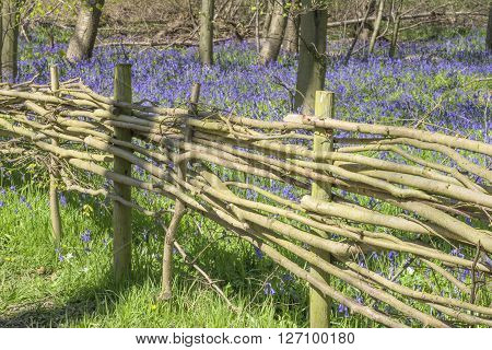 Wicker fence marking boundary of an ancient bluebell wood