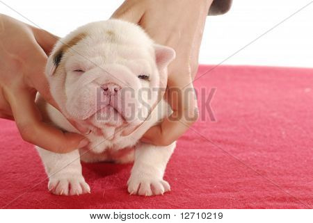 holding puppy - english bulldog - two weeks old poster
