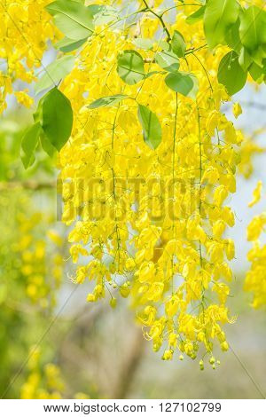Golden Shower Tree in the public park