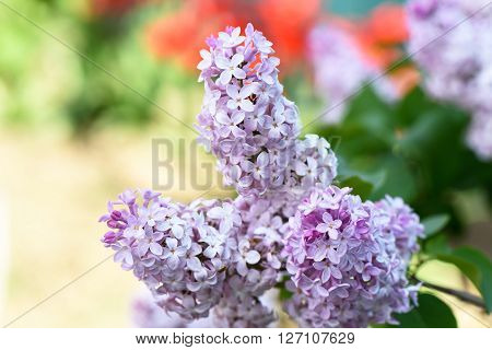 Purple liliac flower blooming over green nature background close up