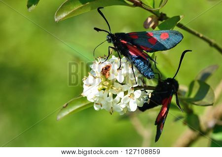Narrow-bordered five-spot burnet moths (Zygaena lonicerae). Pair of moths in the family Zygaenidae nectaring on privet flowers, in a British meadow