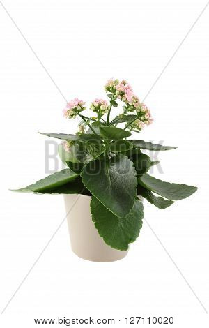 Close up of homemade pot plant - Kalanchoe with pink flowers. Isolated on a white background