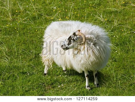 Scottish sheep as found on the Isle of Lewis and Harris, Outer Hebrides, Scotland