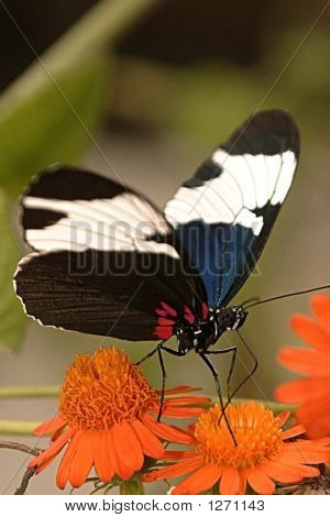 black and white butterfly feeding at orange flowers. poster