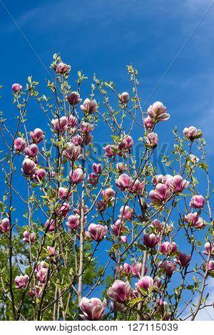 Flowers of magnolia tree over blue sky in springtime