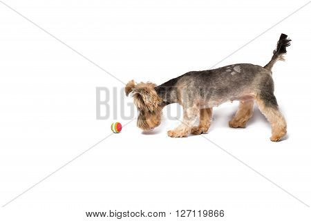 Little Yorkie puppy playing with ball - isolated on white and with shadow on the floor