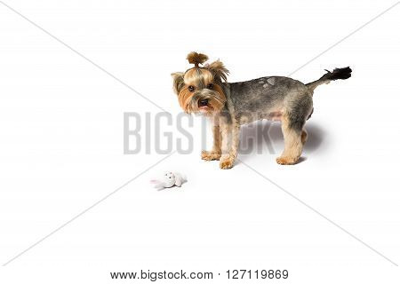 Little Yorkie puppy playing with white rabbit - isolated on white and with shadow on the floor