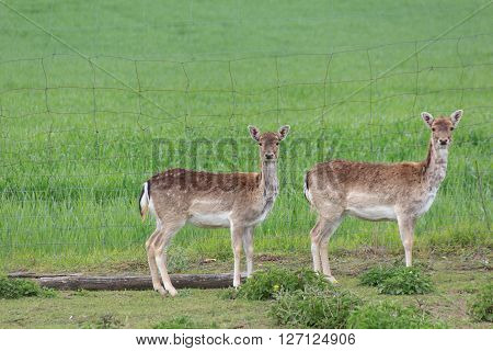 Group Of Deers -  Sika Wild / Does