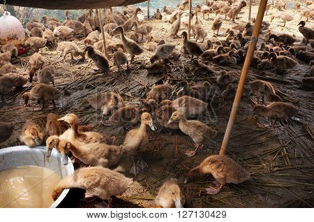 BALI INDONESIA - APRIL 21: Free-range Balinese ducklings bred for their meat drink and take shelter from the sun on April 21 2016 in Ubud Bali Indonesia.