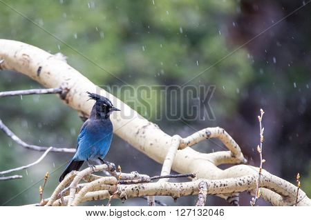Stellar Jay near Bear Lake in Rocky Mountain National Park ** Note: Visible grain at 100%, best at smaller sizes