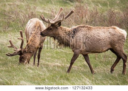 Bull elk and his herd in rocky mountian national park