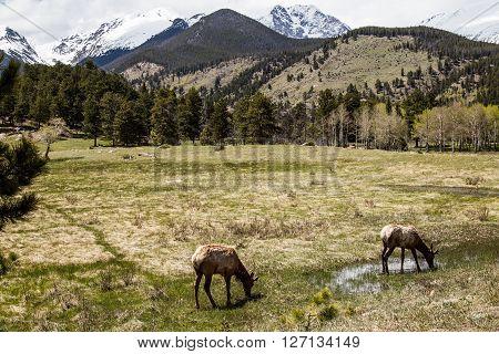 Elk grazing in the grass, Rocky Mountain National Park, Estes Park, Colorado