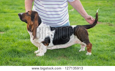 Woman poses her one year old Basset hound (Canis lupus familiaris) for showing in the yard of a hobby farm.