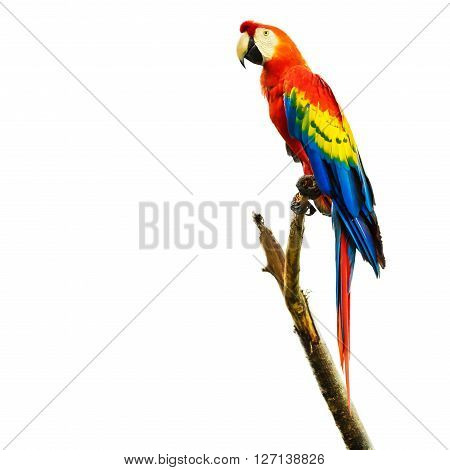 Scarlet macaw bird sitting on branch, isolated on white background.