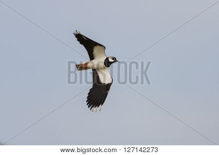 Black and white bird flying in the sky, Northern lapwing