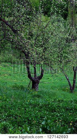 apple tree trident green grass flowers trees