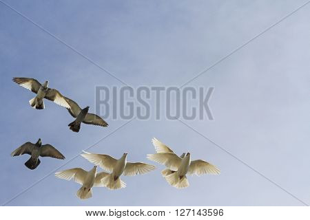 flock of pigeons on cloudy sky sports pigeons, pigeon post poster