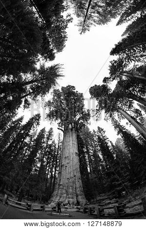 SEQUOIA NATIONAL PARK, CALIFORNIA, USA - SEPTEMBER 14, 2015: View of the General Sherman tree in Sequoia National Park. Its the world biggest three by volume.