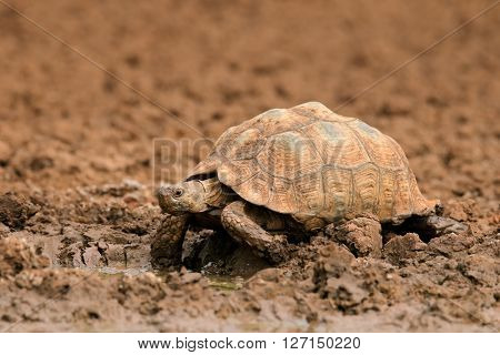 Leopard or mountain tortoise (Stigmochelys pardalis) at a waterhole, South Africa