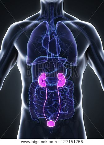 Human Kidneys Anatomy Illustration . 3D render