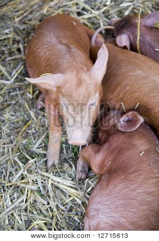 Piglets Suckling Mother Sow