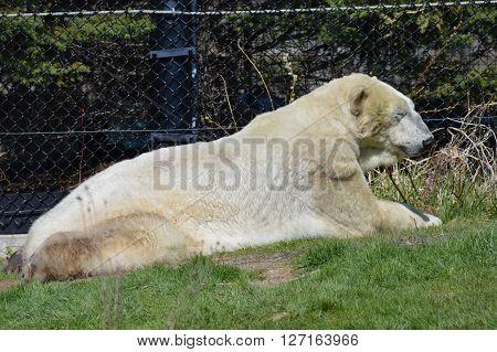 An adult polar bear outside enjoying the sun