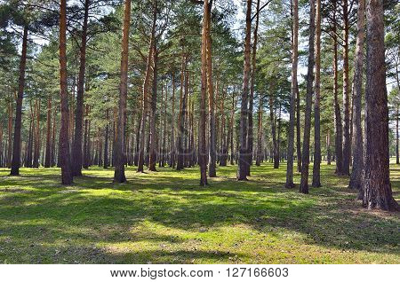 Sunny spring landscape in a pine wood. High straight trunks of pines among the first young green grass