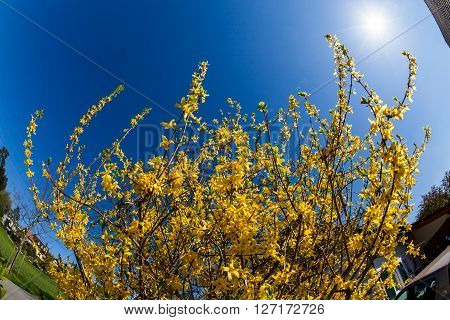 Detail of a blooming Forsythia bush in springtime