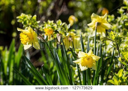 Detail view Narcissus flower on a sunny day