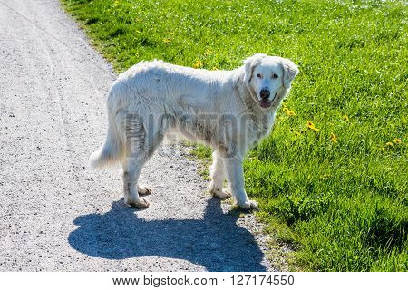 Detail view of a white sheep dog