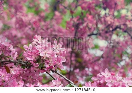 Pink flower of apple tree closeup on blurred background