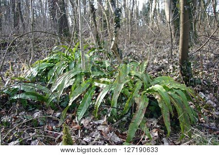 Several clumps of hart's tongue fern (Asplenium scolopendrium) in a winter woodland with focus point to the right. Background of trees and dead leaves.