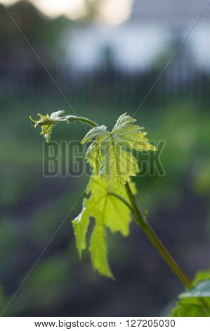 Young Shoots Of Grapes In The Garden, Close-up