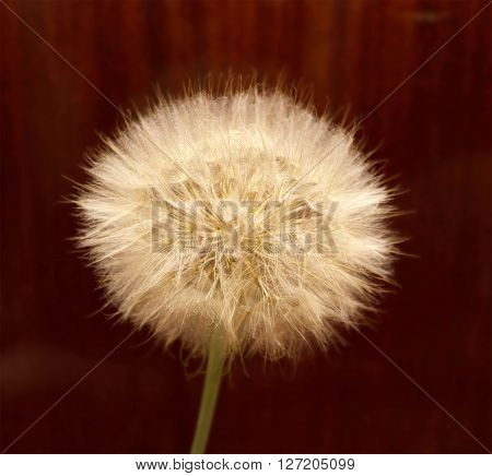Dandelion, Spring Flower. Light Nature Background. Place For Text