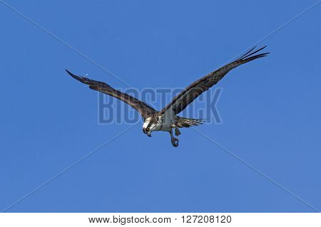An osprey in north Idaho soars up in the clear blue sky.