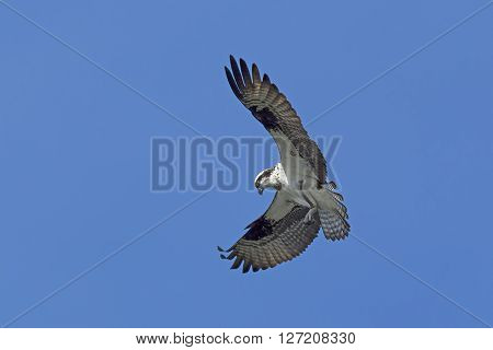 An osprey in north Idaho is fluttering its wings up in a clear blue sky.