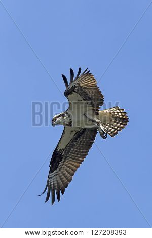 Osprey with wings out. An osprey in north Idaho soars up in the clear blue sky.
