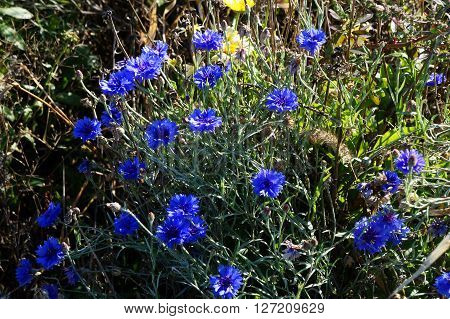 Centaurea cyanus, variously known as cornflower, bachelor's button, bluebottle, boutonniere flower, hurtsickle and cyani flower, blooms in Wildflower Park in Naperville, Illinois during November.