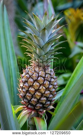 Close up of growing pineapple plant