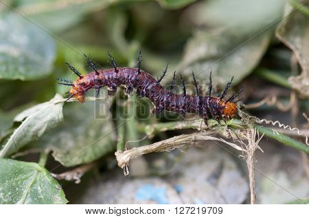 Tawny coster's caterpillar is crawling on a twig of a leaf