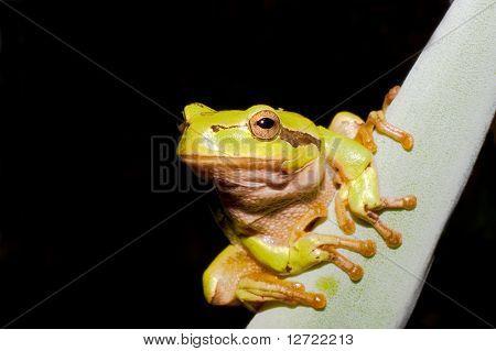 Green Tree Frog on agava leaf (Hyla arborea)