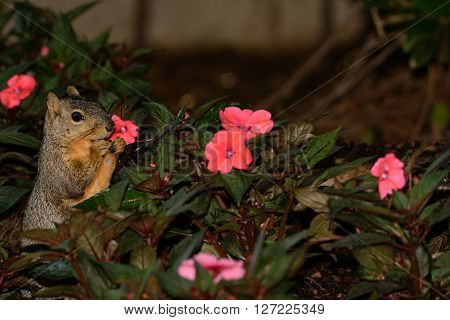 Shopping for Mothers Day Flowers? Fox Squirrel Standing upright in a bed of New Guinea Impatient flowers as if trying to choose one.